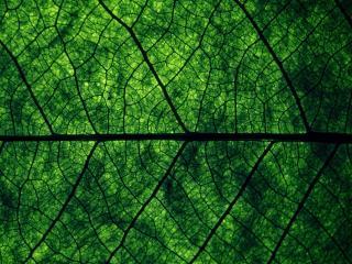 обои Текстура зеленого листа с прожилками фото