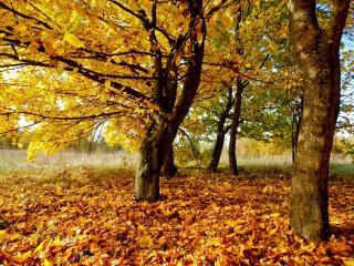 обои Желтый лес фото