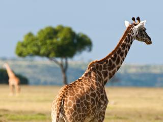 обои для рабочего стола: Жираф в дикой природе
