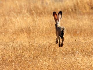 обои На поле убегающий заяц фото