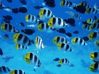 обои Стая сине-желтых рыбок фото