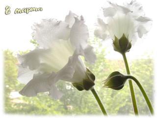 обои Белые цветы для женщин фото