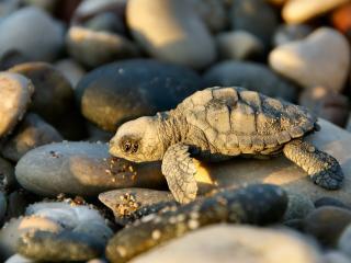 обои Черепаха и камни на закате фото
