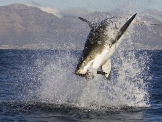 обои Прыжок акулы за добычей фото