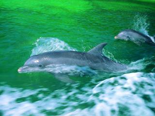обои Радостные дельфины фото