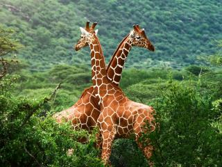 обои Жирафы в зеленой саванне фото