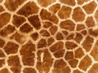 обои для рабочего стола: Мех жирафа