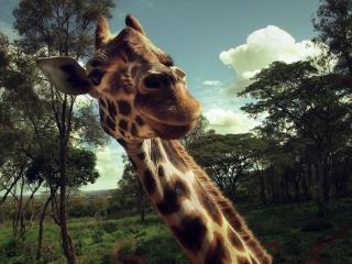 обои Мордяшка жирафа в кадре фото