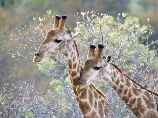 обои Жирафы на фоне весны фото