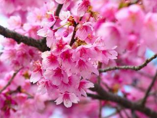 обои Цветение сакуры фото