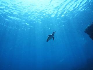 обои Пингвин в морских глубинах фото
