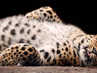 обои Пушистое брюшко леопарда фото