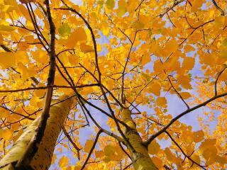 обои Жёлтые осины фото