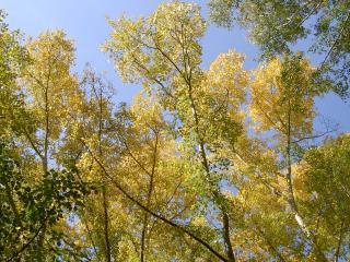 обои Верхушки деревьев смотрящие в небо фото