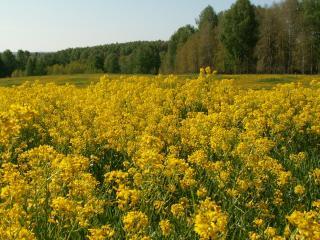 обои Летнее поле из желтых цветов фото