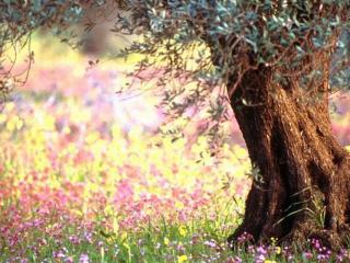 обои Древнее весеннее дерево и нежные цветы фото