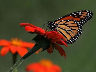 обои Бабочка и красный цветок фото