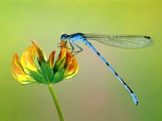обои Синяя стрекоза фото