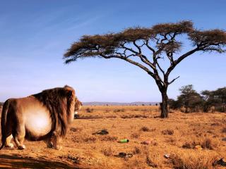 обои Обожравшийся лев фото