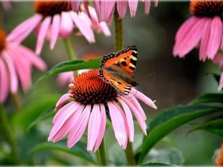 обои Бабочка на розовом цветке фото