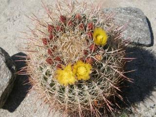 обои Бочковый кактус фото