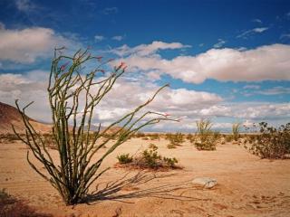 обои Цветы пустыни - Окотийо в марте фото