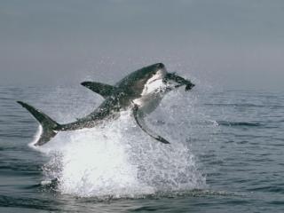 обои Прыжок гигантской акулы фото