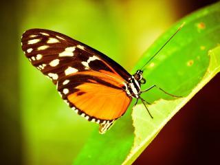 обои Бабочка на листике зеленом фото