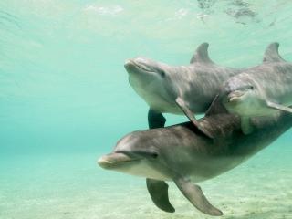 обои Плывущие дельфины фото