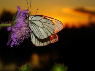 обои Бабочка,   цветок,   закат фото