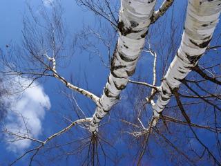 обои Берёзовое небо, весна фото
