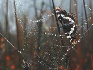 обои Бабочка и паук на паутине после дождя фото