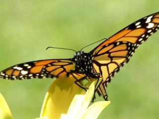 обои Бабочка на желтых лепестках фото