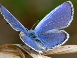 обои Голубая бабочка на листе фото