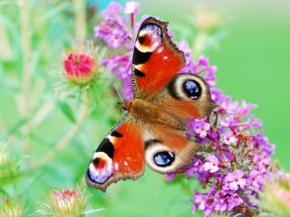 обои Красивая бабочка на веточке голубых цветков фото