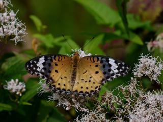обои Бабочка с песочной расцветкой фото