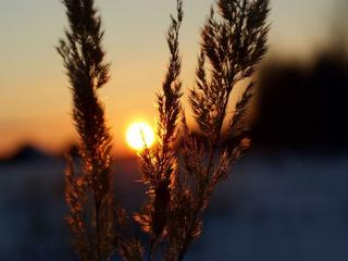 обои Пушистая трава на закате фото