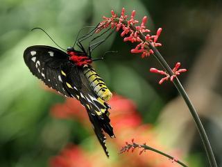 обои Бабочка с жёлтым брюшком фото