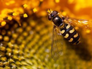обои для рабочего стола: Пчела и медовые соты