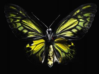 обои На черном фоне бабочка фото
