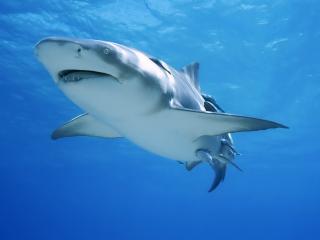 обои Акула в океанских водах фото