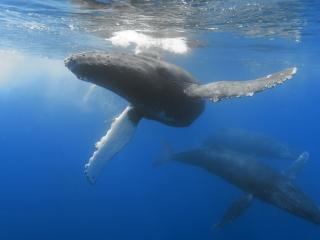 обои Киты на морских глубинах фото
