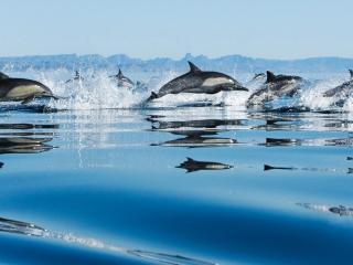 обои Стая дельфинов в прыжке фото