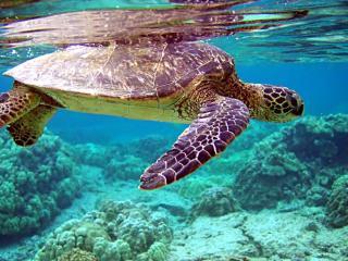 обои Черепаха на дне морском фото