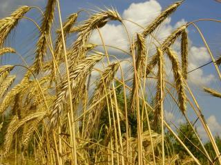обои Колосится пшеница золотая фото
