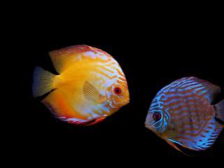 обои На темном фоне две рыбки фото
