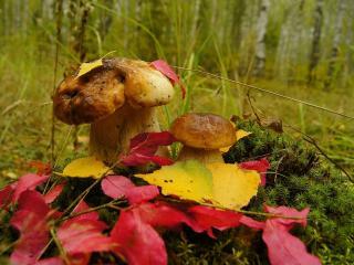 обои Два грибочка на кочке фото