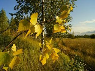 обои Жёлтые листочки берёзы фото