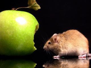 обои Зеленое яблоко и мышка фото