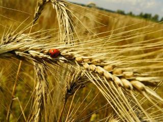 обои Колосья пшеницы и божья коровка фото
